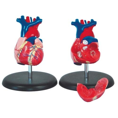 Coração Humano Tamanho Natural 2 Partes