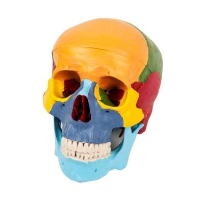 Modelo de crânio em 03 partes