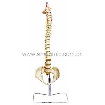 Coluna Vertebral Flexivel
