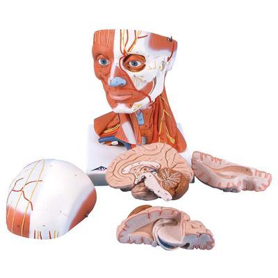 Musculatura do Pescoço e da Cabeça – 5 Peças