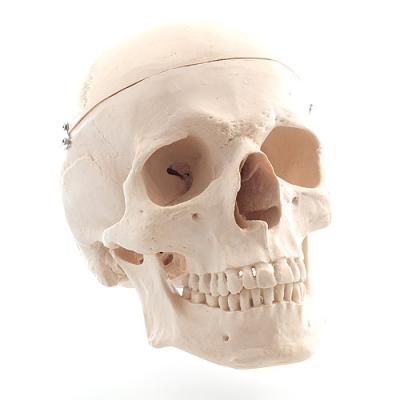 Crânio Humano tamanho natural