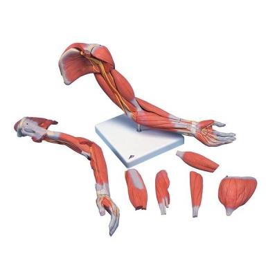 Braço em Versão de Luxo com a Musculatura – 6 Peças