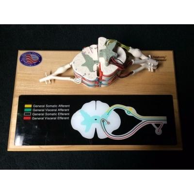 Modelo Deluxe de Ensino Anatômico da Medula Espinhal, do Nervo e da Espinha