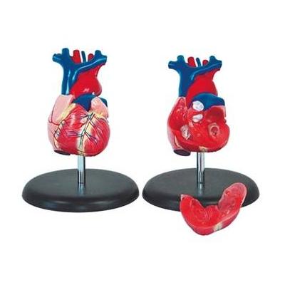 Coração Humano Tamanho Natural, 2 partes