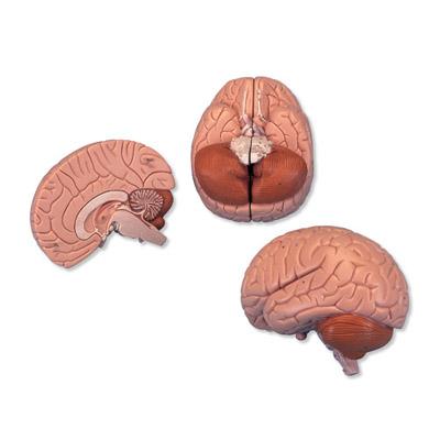 Cérebro – 2 Peças