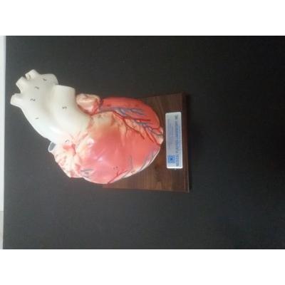 Coração em tamanho natural, 02 partes