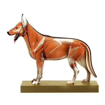 Modelo de musculatura de um cachorro