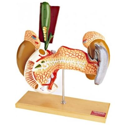 Anatomia do Pâncreas, duodeno, vesicula biliar, baço e rins com glândulas supra-renais