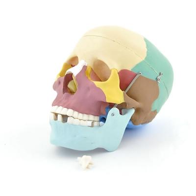 Crânio para demonstração