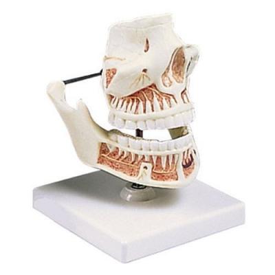 Dentição Adulta