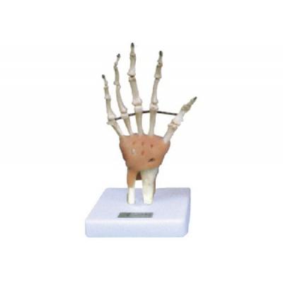 Modelo de mão com juntas e ligamentos