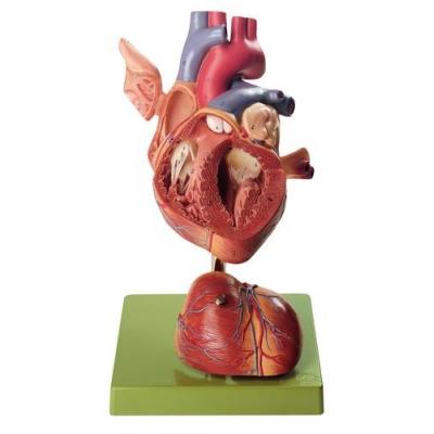 Coração em 4 partes, duas vezes tamanho real