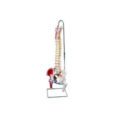 Coluna Clássica Flexível com Cabeças de Fêmur e Músculos Pintado