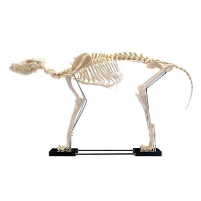 Esqueleto canino porte grande