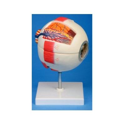 Modelo de globo ocular - 6 partes