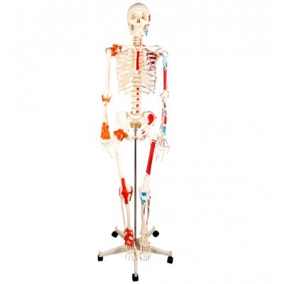 Esqueleto Humano, destaque em músculos e ligamentos 180cm