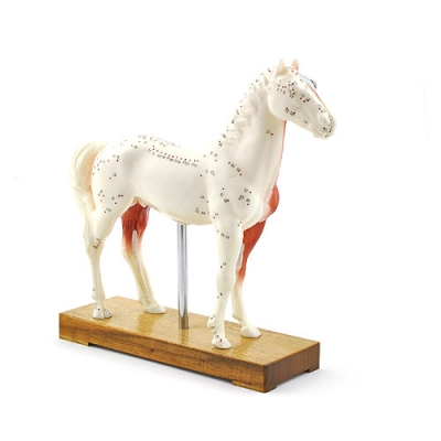 Modelo de acupuntura equino