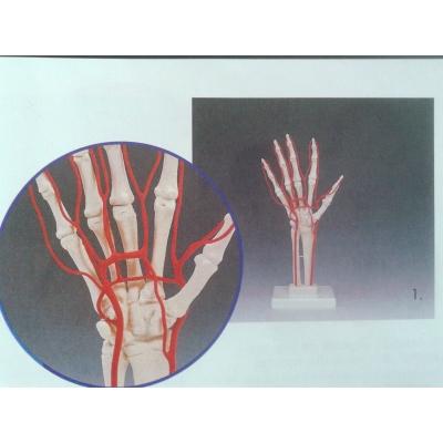 Esqueleto de mão com artérias