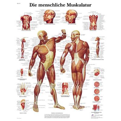 Die Menschliche Muskulatur (O Músculo Humano)