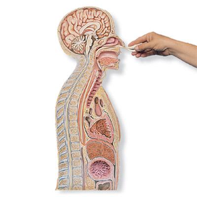 Modelo para a Introdução de Tubos Nasogástricos