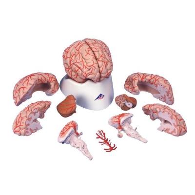 Cérebro com Artérias – 9 Peças