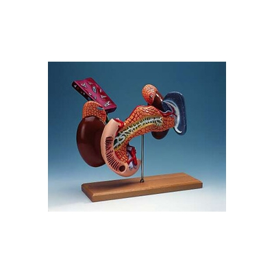 Modelo simulador dos órgãos internos do aparelho digestivo
