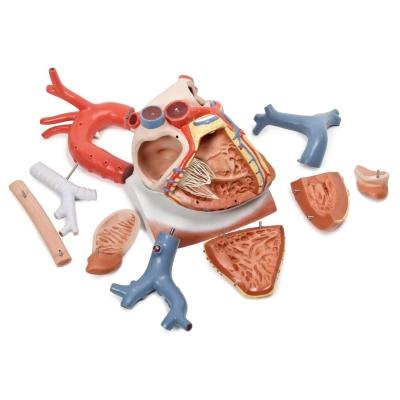 Coração com Diafragma – 3 Vezes o Tamanho Natural – 10 Peças