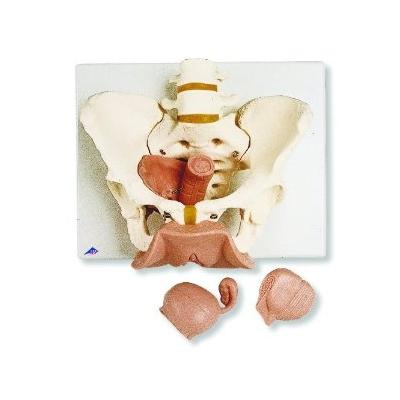 Esqueleto Pélvico com Órgãos Genitais Femininos – 3 Peças