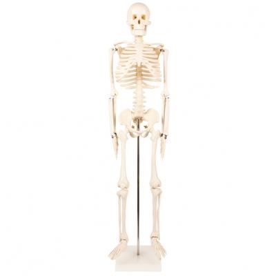 Esqueleto humano - 85cm